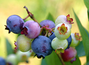 300px-PattsBlueberries