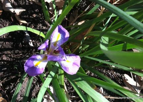 Iris Ungularis