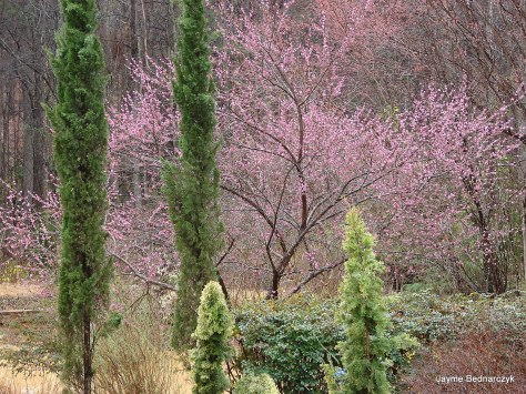 Entwined Gardens - Italian cypress flank the Loropetalum hedge under  fragrant Prunus mume show.