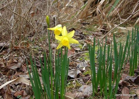 Narcis2