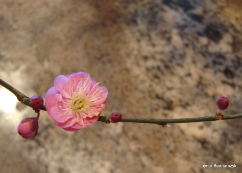 Prunus branch