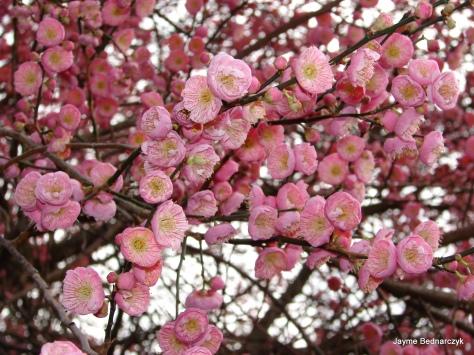 Prunus cluster