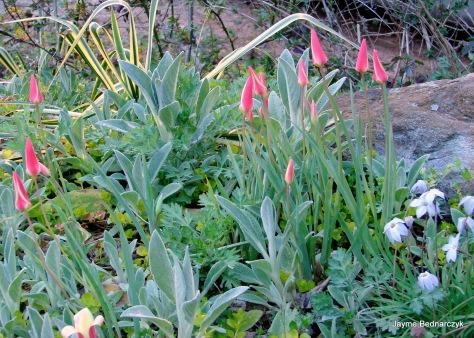 Tulipa clusiana 'Tinka'