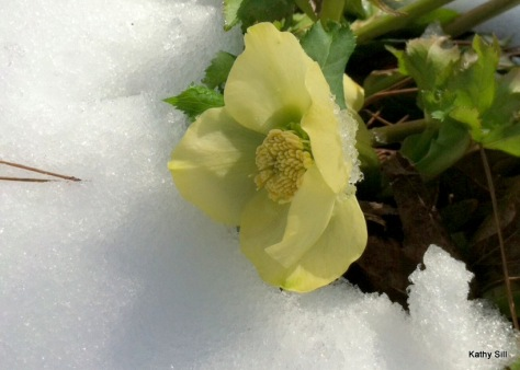 My friend Kathy's yellow Hellebore peaking through the snow.
