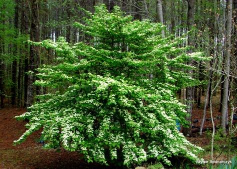 Viburnum plicatum f. tomentosum 'Mariesii'