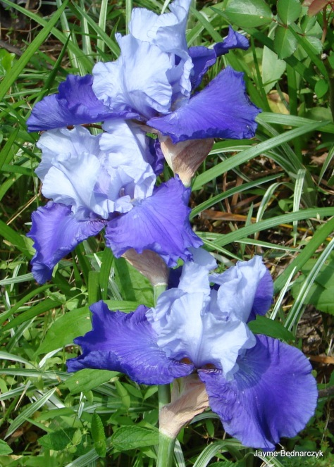 Iris germaica