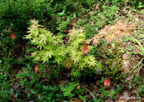 "Acer palmatum""Orange Dream"" with native Aquilegia canadensis"