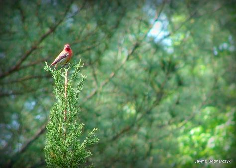Red Bird-001