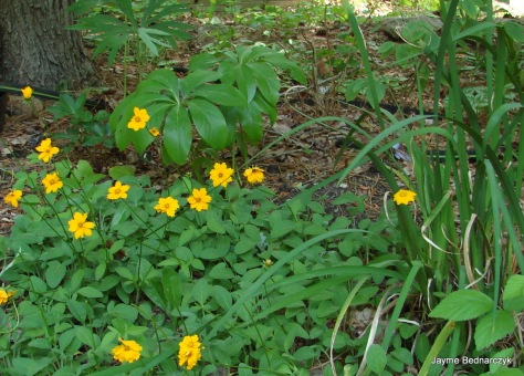 Coreopsis pubescens 'Sunshine Superman'